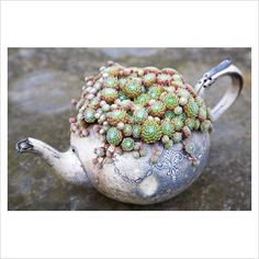 Sempervivum arachnoideum in old silver teapot