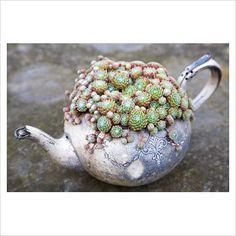 Sempervivum arachnoideum in old silver teapot