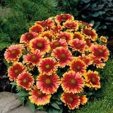 19 best texas perennials images on pinterest landscaping ideas gaillardia or blanket flower sun mightylinksfo