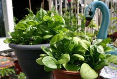 Growing Tomatoes In Pots growing spinach in pots - Learn how to spinach in pots, it is one of the vegetables that you can grow in some shade and in any kind of space. Growing spinach in containers is easy too, you can even grow it indoors on a windowsill. Fast Growing Vegetables, Growing Vegetables In Containers, Container Gardening Vegetables, Growing Herbs, Planting Vegetables, Vegetable Gardening, Urban Gardening, Organic Gardening, Gardening Tips
