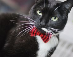 Story of our Pet Bow Tie Line