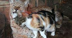 Besucht man heute den Zoo von St. Petersburg bekommt man einen Zuckerschock von dem süßen Bild, das sich einem bietet.  Eine streunende Katze schlich sich eines Tages in den Zoo und fand sich vor dem Käfig eines Eurasischen Luchs wieder. Das erstaunliche – Sie wurden direkt beste Freunde!  Da sie so unzertrennlich waren, beschloss der Zoo das kleine Kätzchen kurzerhand zu adoptieren.