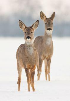 roe deers. photo by JMrocek.deviantart.com on @deviantART