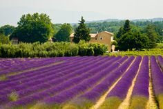 Didn't get to see the lavendel like this, but maybe next time..:))