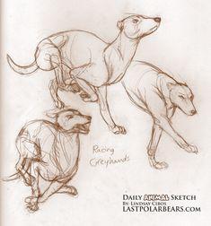 Daily Animal Sketch – Racing Greyhounds – Last of the Polar Bears Dog Anatomy, Anatomy Drawing, Anatomy Art, Animal Anatomy, Animal Sketches, Animal Drawings, Cartoon Drawings, Art Drawings, Greyhound Art