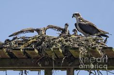 Title  Mother Osprey And Her Brood   Artist  Belinda Greb   Medium  Photograph - Photograph, Photography, Photographs