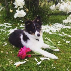Young Tri Sheltie
