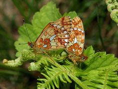 Butterflies of Europe - © Adrian Hoskins CLOSSIANA EUPHROSYNE - There are over 440 species of butterfly found in mainland Europe, including 57 which have resident populations in the UK.