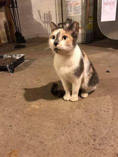 Taffy * Cat • Domestic Short Hair • Adult • Female • Medium  Eleventh Hour Rescue Rockaway, NJ