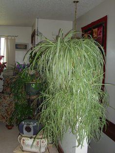 teardrop peperomia plants pinterest plants. Black Bedroom Furniture Sets. Home Design Ideas