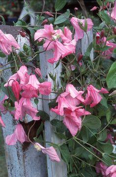 Beautiful flowers: Clematis 'Alionushka' pink flowered climbing perennial vine on blue wood picket fence