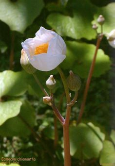 Full size picture of Snow Poppy, Chinese Bloodroot (Eomecon chionantha)