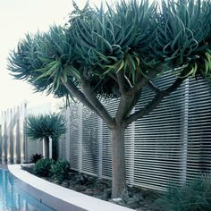 Types of Houseplant Bugs and Methods to Check Their Infestation Wairere Nursery, Auckland Landscape Plants And Succulents Dracaena Draco Tropical Backyard, Backyard Plants, Backyard Pool Designs, Landscaping Plants, Pool Plants, Sloped Backyard, Dragon Blood Tree, Dragon Tree Plant, Landscape Design