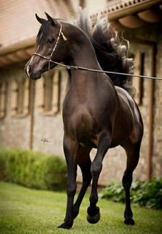 Arabs are the super models of the horse world.