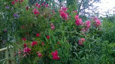 Róże przy furtce