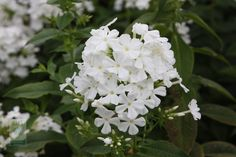 http://www.rhsplants.co.uk/plants/_/phlox-paniculata-mount-fuji/classid.2000012713/