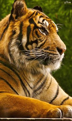 RUMA♥ Tiger Animation