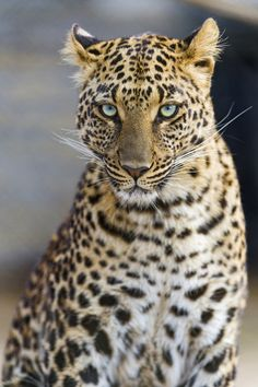 Serious but beautiful Choetta by Tambako The Jaguar Via Flickr: A portrait of the pretty leopardess of the Lion Park!
