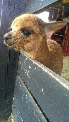 Dandy, the baby alpaca who is here to show everyone that alpacas are SUPER cute. 31 Of Unsung Heroes Of Cute Baby Alpaca, Cute Alpaca, Llama Alpaca, Baby Animals Super Cute, Cute Funny Animals, Cute Cats, Alpaca Pictures, Animal Pictures, Alpacas