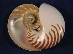 Naturalists, mathematicians and physicists have been fascinated for years by the form of this shell. The spirally coiled, chambered shell is perfectly proportioned mathematically- a remarkable feat of natural engineering.   The chambered nautilus seashell moves air through its many chambers to control buoyancy.