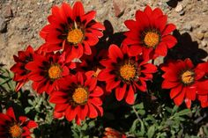 Namaqualand Daisies. Wildflowers, Daisies, Trees To Plant, West Coast, Flower Art, Flower Power, Planting Flowers, South Africa, Cape
