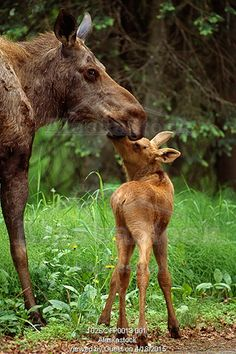 Photo of Cow moose & calf together in Anchorage neighboorhood Summer Southcentral Alaska
