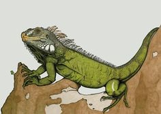 Iguana iguana - Arturo Blasco López