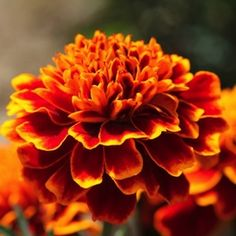 Cresta Flame marigold. Annual flower seeds.                                                                                                                                                                                 More
