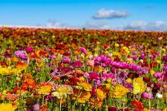 Beautiful Flowers in Carlsbad, CA - April 19, 2018 - Beautiful Flowers in Carlsbad.  ©2018 Rich Cruse / CrusePhoto.com