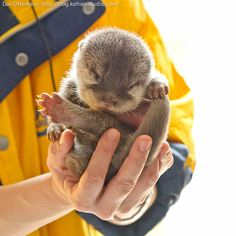 and for today's cute therapy session... Baby Otters!