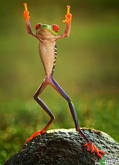 Now this, THIS is real life leap frog! These red-eyed tree frogs look like they're jumping for joy. via The Sun) 😂😂😂 Animals And Pets, Baby Animals, Funny Animals, Cute Animals, Beautiful Creatures, Animals Beautiful, Red Eyed Tree Frog, Funny Frogs, Frog And Toad