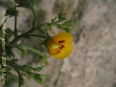 Bild von Adesmia parviflora (). Klicken Sie, um den Ausschnitt zu vergrössern.