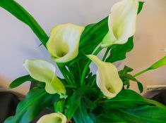 Calla Lily Flowers, Flower Pots, Agriculture Photos, Video Image, Photo Illustration, Royalty Free Images, Stock Photos, Plants, Flower Vases