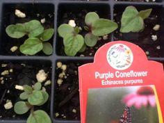 Baby Purple Coneflowers in the Wildflower Farm greenhouse!