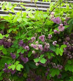 Akebia quinata/Chocolate Vine is an evergreen climbing plants which can reach thug-like proportions reaching 8-12 metres in height and at least 8m in width.  It can be grown in full sun or partial shade and prefers moist but well-drained soil.