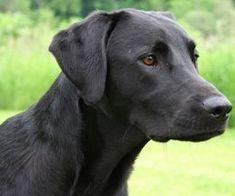 Padfoot's doppelgänger! Lab Mix Puppies, Black Lab Puppies, Labrador Mix, Black Labrador Retriever, Labrador Retrievers, Retriever Puppies, Pitbull, Blue Merle, Labradoodle