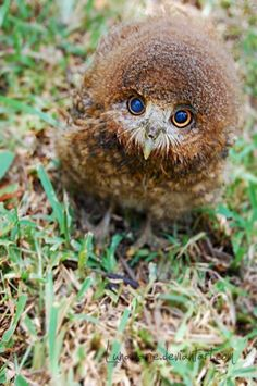 Owl Fluff by Lunamarie. Just look at this cute owl! What adorable eyes and poofy head! Baby Owls, Cute Baby Animals, Animals And Pets, Funny Animals, Beautiful Owl, Animals Beautiful, Majestic Animals, Owl Bird, Tier Fotos