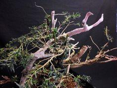 Taxus baccata, después del transplante-4