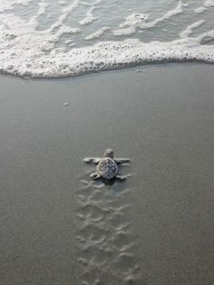 Newly hatched turtle-- Heading home