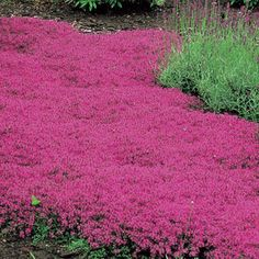 Red Creeping Thyme. Grows 3 inches tall max - no mowing . Lemony scent. Gorgeous with lavender. Perennial. Repels mosquitoes. Can grow as entire lawn