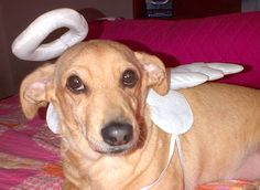 Dachshund Abby dressed as an angel