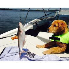 """Cooper's first encounter with a CAT. #westmarine #dogdaysofsummer"""