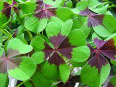 Trevos # Plantas, Simbologia e Sorte! • Jardim de Siguta •