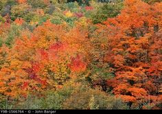 Fall-colored hardwood forest near Little Wildcat Mountain, White Mountain National Forest, northern New Hampshire, USA