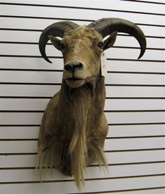 Okay, so I own this.......it is a Barbary Sheep head...