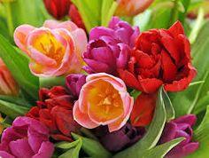 Bildresultat för röda tulpaner