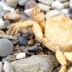 Look who you can meet at the Sitia beach #crete #sitia #crab #animals #wildnature #meanwhileincrete