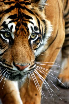 Sumatran tigers have the longest whiskers of all tigers – perfect sensors in the dark, dense jungle.