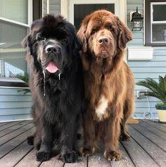 Captain (left) & Frisbee 'Friz' (right) Pet Dogs, Dog Cat, Doggies, Animals And Pets, Cute Animals, Go Dog Go, Terra Nova, Dog Breeds List, Huge Dogs