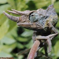 Jackson's or Three-horned Chameleon (Chamaeleo jacksonii) male.